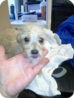 Alpharetta, GA - Westie, West Highland White Terrier/Yorkie, Yorkshire Terrier Mix. Meet Romeo a Puppy for Adoption. I am up to date with shots and good with dogs.