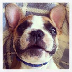 French Bulldog Winston! #frenchie
