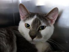 2 year old Gino needs out of NYCACC NOW!!! TO BE DESTROYED 6/13/13 Manhattan Center  My name is GINO. My Animal ID # is A0965348. I am a male gray and white domestic sh mix. The shelter thinks I am about 2 YEARS old.  I came in the shelter as a STRAY on 05/15/2013 from NY 10459, owner surrender reason stated was STRAY. I came in with Group/Litter #K13-137384.