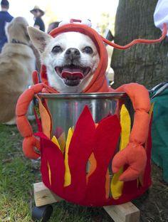 Lobster costume. Get MORE great pet costume ideas here>> http://my.gactv.com/great-american-pets/Pet-Costumes/gallery.esi?soc=pinterest
