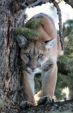 A Cougar Watching Prey From a Tree.