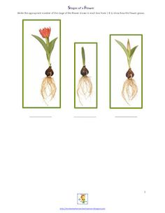 Stages of a Flower Printable