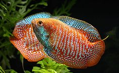 Gourami (Osphronemus gouramy) / freshwater fish.Much like the fish that swallowed a rock I named him rock..