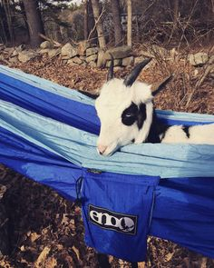 Just a goat in a hammock #casual #eno #hammocklife by @goat_couture