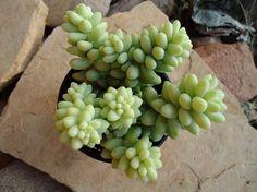 Succulent Plant Sedum Donkey Tail Burrito by SucculentDESIGNS, $4.95