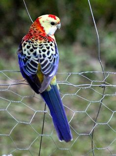 Pale Headed Rosella hybrid or colour mutation. | BIRDS in BACKYARDS