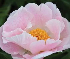 Klehm's Song Sparrow Farm and Nursery--Peonies/Paeonia--'Chiffon Clouds'