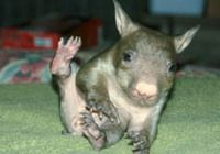 FAVORITE ANIMAL. [wombat] <3
