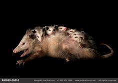 An opossum having massage