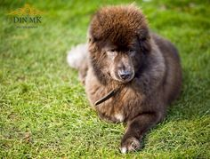 Simply Canine : Malli 3 by Din Mk Photography // Tibetan Mastiff