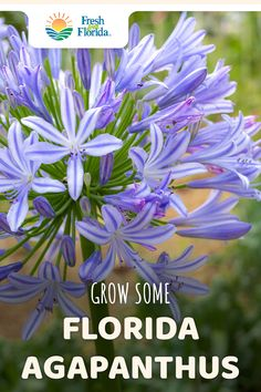 There are plenty of different types of agapanthus available in Florida. Choose the color and kind that are right for you. Plant some agapanthus today. Landscaping Shrubs, Florida Landscaping, Florida Gardening, Bushes For Front Yard, Florida Native Plants, Florida Flowers, Flowering Bushes, Lawn And Garden, Garden Tips