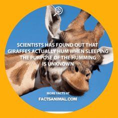 giraffe-humming-fact