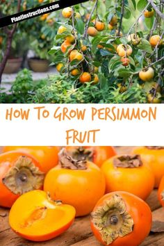 Want to learn how to grow persimmon fruit? Keep reading to learn how to grow, care for, and harvest persimmon! Fruit Plants, Fruit Garden, Garden Trees, Fruit Fruit, Fence Garden, Herbs Garden, Container Plants, Container Gardening, Gardening Tips