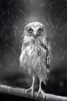 Sad Owl Standing in the Rain by Shamma Escoof via smithsonianmag: If you think you recognize facial expressions in owls, it's because they have many tiny facial muscles, just like people. They are able to show their feelings on their faces. #Photography #Owl