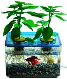 A mini aquaponics garden to get started ... and with fish you don't eat - yay!!