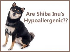 Shiba In Facts: My First Shiba Inu Puppy Home Page - My First Shiba InuShiba Inu's sure are furry, but are they hypoallergenic? www.myfirstshiba.com