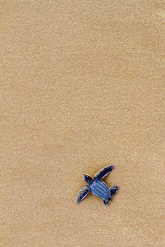 wonderous-world: Leatherback Sea Turtle Hatchling by Antoine Baglan