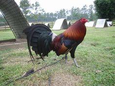 Gene Batia Game Fowl (Sweater)