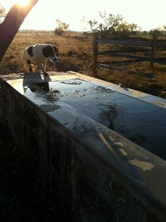 Time for a swim in the cattle trough with Mr. Frog.