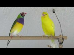 Russian canary singer - YouTube