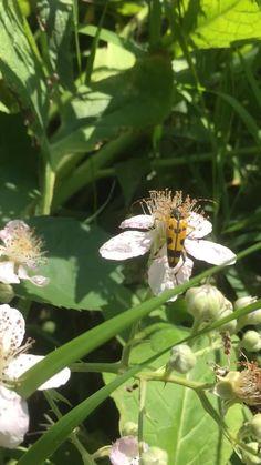 #blackberry #naturephoto #naturelovers #bees #pollinators #pollinatorgarden #whiteflowers #countrygarden #englishgarden #mothernature #pond