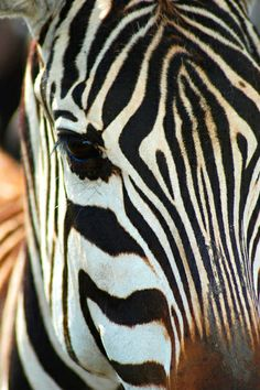 Zebra by charlielover
