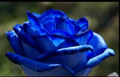 """Roses are blue.... """"What's in a name? That which we call a rose by any other name would smell as sweet.""""~William Shakespeare"""