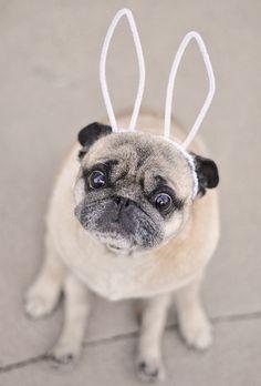 easter pug-pug dog with bunny ears by ...love Maegan, via Flickr