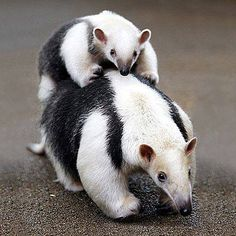 Mama Anteater and baby