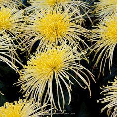 Golden Rain, Golden Splendor and Kishinonishi – Yellow Spider Mums .... these flowers always remind me of fireworks