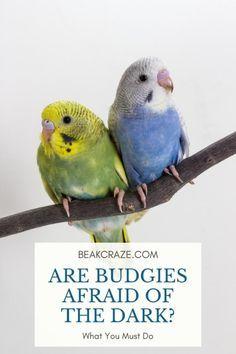 Budgies Care, Budgies Parrot, Parakeet Care, Parakeets, Baby Budgies, Budgie Toys, Budgie Parakeet, Bird Barn, Barn Owls