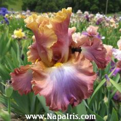 TB Iris 'Tamara Kay' (Larry Johnson, 2004)