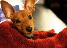 Cosy in my blankets! #minpin #dvergpincher #miniaturepinscher #dog #puppy #hund #happy #lykke