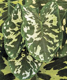 Alocasia 'Hilo Beauty'Hilo Beauty Elephant EarHeight: 3' Width: 2' Zone: 7b  Plants That Work™ / Bring On The Heat ™The beautiful foliage is medium green with blotches of chartreuse accents. The plant prefers shade making it a great container plant for the porch or patio.