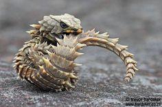 Armadillo Girdled Lizard - Ouroborus cataphractus by Trevor Hardaker