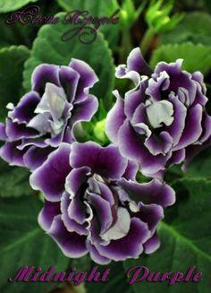Глоксиния Midnight Purple (?) Крупные махровые чернильно-фиолетовые бархатные цветы .Горло в глубине цветка молочное в пурпурный крап, края волнистых лепестков будто подсвечены неоном. Цветение обильное, цветоносы крепкие. Подробнее: http://www.donnaflora.ru/?photo=207935 Подробнее: http://www.donnaflora.ru/?photo=207935