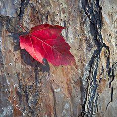 Red Leaf on Pine -  2007,fall foliage,t (trees),talladega national forest, red, leaf, red leaf, leaves, autumn, fall, pine, bark, alabama, talladega alabama, nature, al, alabama the beautiful, ne al, ne alabama, northeast alabama, northeast al, pine bark, woods scene, woods scenery, talladega, talladega forest, al forest, alabama forest