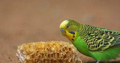 Como saber diferenciar Periquito macho de Periquito fêmea. Periquitos são papagaios pequenos e magros, originais da Austrália. Essas aves podem ser treinadas com facilidade e muitas podem ser ensinadas a falar. É possível distinguir entre os periquitos machos e fêmeas com base na sua aparência e comportamento. No entanto, as características de identificação estão presentes apenas em periquitos adultos, ...