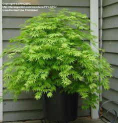 PlantFiles Pictures: Weeping Japanese Maple 'Omurayama' (Acer palmatum) by Green Japanese Maple, Japanese Maple Bonsai, Japanese Plants, Small Japanese Garden, Japanese Garden Design, Planting Japanese Maple, Japanese Gardens, Japanese Style, Pruning Japanese Maples
