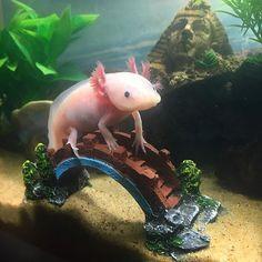 D - photograph of Axolotl C - could use in panel / scene Cute Creatures, Beautiful Creatures, Animals Beautiful, Axolotl Care, Axolotl Pet, Animals And Pets, Cute Animals, Reptiles And Amphibians, Aquarium Fish