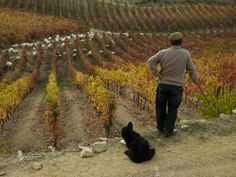 """a vineyard at Quinta do Vesuvio Portugal.  After the harvest, the sheep come and eat what is left of the fruit on the vines,"""" says photographer Michael Melford"""