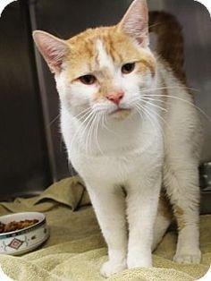 Westampton, NJ - Domestic Shorthair. Meet Jasper 35186572, a cat for adoption. http://www.adoptapet.com/pet/18089059-westampton-new-jersey-cat