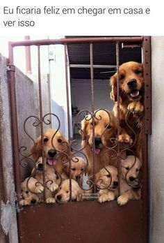 SUPER FELIZ E VC? #petmeupet #filhode4patas #cachorro #goldenretriever #amocachorro