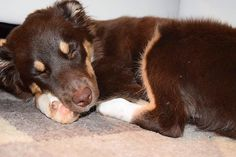 Goodnight all -------------------------- #miniaussie #miniaussiesofinstagram #miniaustralianshepherd #miniatureaustralianshepherd #lacyandpaws #puppy #puppies #puppystagram #puppiesofinstagram #dog #dogs #dogstagram #dogsofinstagram #topdogphoto #cutepetclub #redtri #aussie #aussienation #australianshepherd #australianshepherdworld #sleepy #goodnight #4monthsold #dog_features #dogfeatures #nikon #nikond3300 by indyandeevee