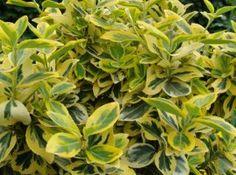 Euonymus fortunei `Emerald`n Gold` Fortunei kikkapuu Hedging Plants, Garden Plants, Shrubs, Sloped Garden, Hedges, Evergreen, Plant Leaves, Emerald, Landscape