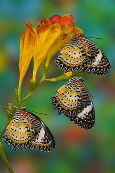 The Leopard Lacewing is a species of heliconiine butterfly found from India to southern China, and Indochina. Flying Flowers, Butterfly Flowers, Butterfly Wings, Butterfly Photos, Beautiful Bugs, Beautiful Butterflies, Beautiful Creatures, Animals Beautiful, Moth Caterpillar