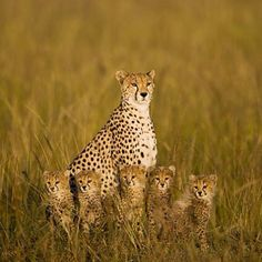 Cheetah's. Another one that is hard to describe. I just LOVE big cats! Amazing animals.