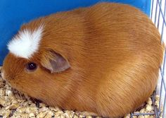 How to Make Home Made Guinea Pig Treats