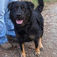 Pictures of Rex 12-2-17 a Rottweiler for adoption in Dickson, TN who needs a loving home.