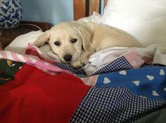 Cutest Labrador puppy in the world!